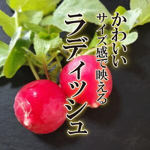 ラディッシュ 1パック【ハツカ...