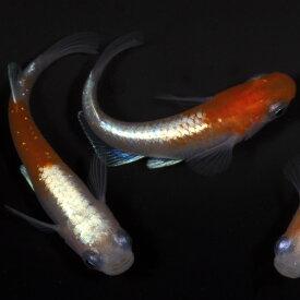 メダカ 生体 寿 稚魚10匹 めだか 種類 生体 送料無料
