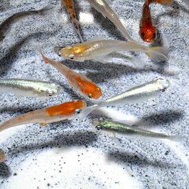 ミックス メダカ 生体 20匹セット 多種多色 めだか 種類 送料無料