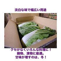 白菜説明2
