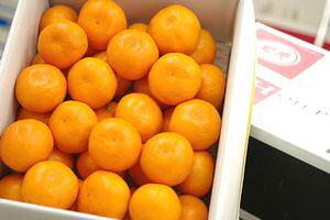 当店オリジナル箱。出島の華みかん通販 長崎県 させぼ温州をお歳暮長崎みかんに 約3kg 2S〜L サイズ指定はできません