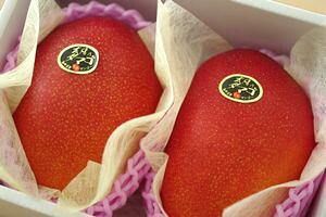 太陽の卵マンゴー通信販売 宮崎産アップルマンゴー販売。糖度15度以上 大玉2玉