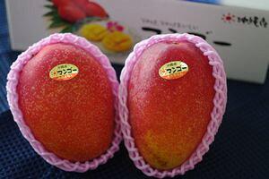 沖縄マンゴー通販 御中元果物販売 2玉