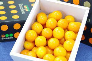 宮崎金柑たまたまエクセレント通販 糖度約18度の完熟きんかんを販売取寄。化粧箱 約1kg 宮崎産