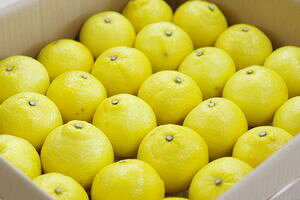 柑橘はるか通信販売 爽やかな甘さの春香を販売取寄。約5kg 愛媛・他産地