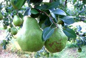 お歳暮シルバーベル通販 山形県特大西洋梨を販売取寄。中箱 約4玉〜約7玉