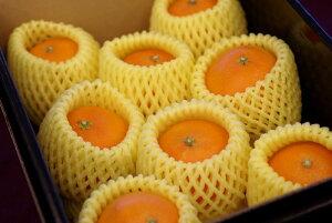 M〜L小さめサイズ 紅まどんな お歳暮に愛媛県ゼリーの様な食感が特徴の柑橘 約9玉前後