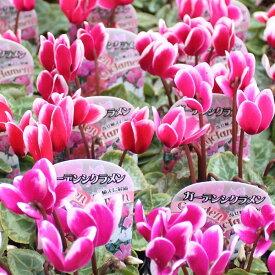 ガーデン シクラメン苗3号ポット24鉢セット花色おまかせ