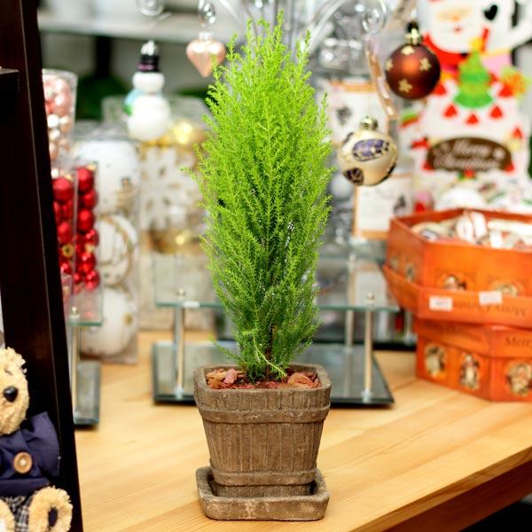ゴールドクレスト ウィルマ陶器鉢(鉢皿付)クリスマスツリー