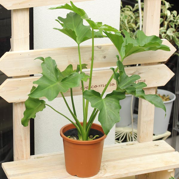 フィロデンドロン セローム高さ40cm×幅24cm 4号プラ鉢 観葉植物
