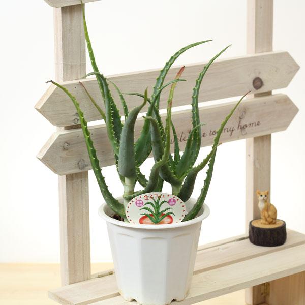 アロエ5号プラ鉢 Mサイズ別名:ロカイ 医者いらず観葉植物・庭木・多肉植物の苗