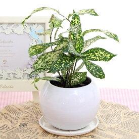 ドラセナスルクロサゴッドセフィアナ陶器鉢(プラ鉢皿付)高さ20cm〜25cm観葉植物(生花)