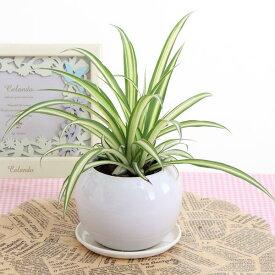 おくれてごめんね父の日オリヅルラン空気浄化観葉植物(生花)陶器鉢(プラ鉢皿付)