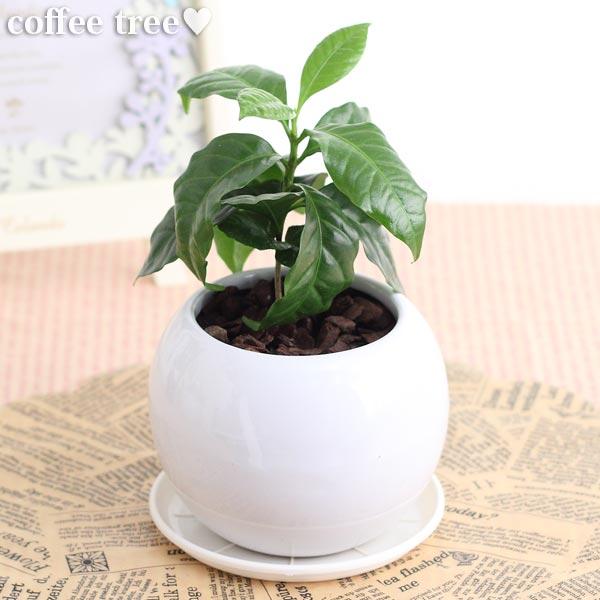 コーヒーの木観葉植物(生花)陶器鉢(プラ鉢皿付)高さ25cm〜30cm
