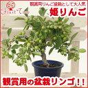 姫りんご 盆栽5号プラ鉢