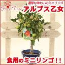ミニりんご アルプス乙女5号プラ鉢食用・無農薬ハウス栽培