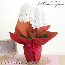 胡蝶蘭2本立 ミディ〜大輪花色・サイズおまかせ胡蝶蘭のしカード付※入荷に応じてサイズは変わります。