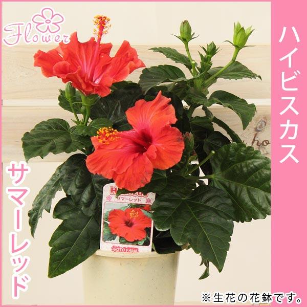 ハイビスカス 花鉢各色(レッド・オレンジ・ピンク・イエロー)系5号プラ鉢