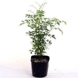 シマトネリコ 3号苗庭木 常緑 高木在庫処分