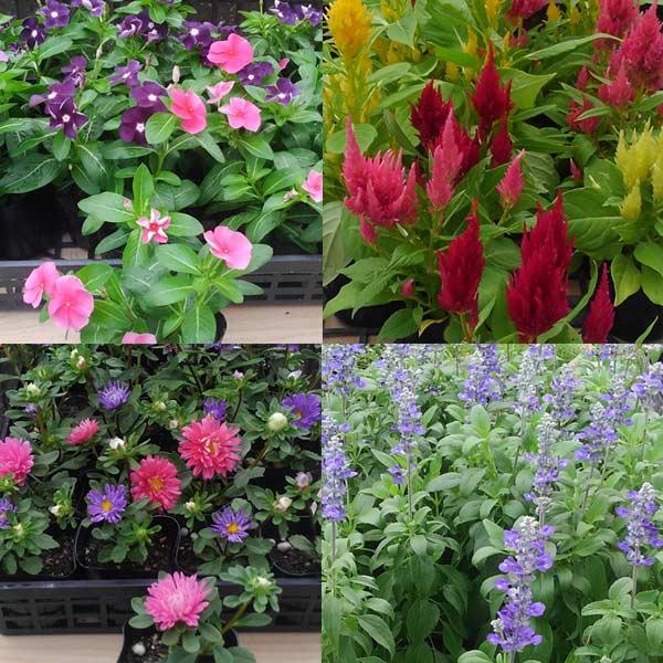 おまかせ花の苗9株セットパンジー ビオラ クリサンセマム ナデシコ 他5〜9種類で出荷させていただきます。