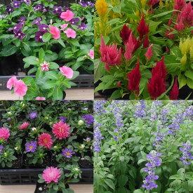 おまかせ花の苗16株セットパンジー ビオラ クリサンセマム ナデシコ ガーベラ シクラメン他5〜9種類で出荷させていただきます。