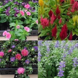 おまかせ花の苗12株セットパンジー ビオラ クリサンセマム ナデシコ ガーベラ シクラメン他5〜9種類で出荷させていただきます。