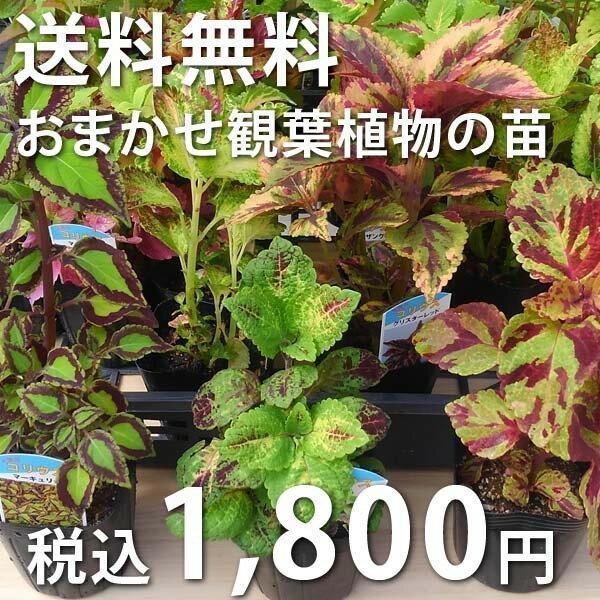 おまかせ観葉植物・地被植物の苗9株セットポトス テーブルヤシ コリウス ヒポエステス ハツユキカズラ 他入荷に応じて5〜9種類セレクトして出荷させていただきます。
