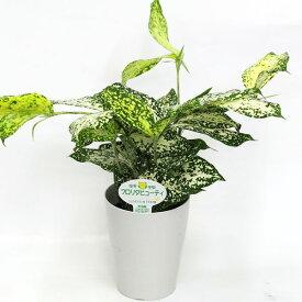 フロリダビューティー(ゴッドセフィアナ) 高さ27cm×幅24cm 3.5号プラ鉢 観葉植物