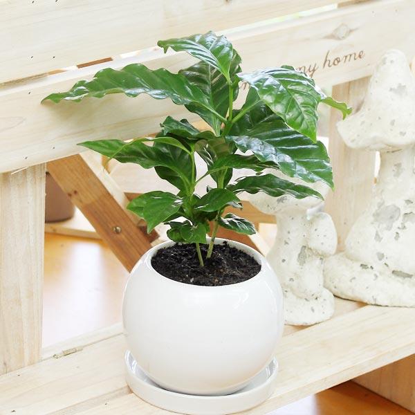 コーヒーの木観葉植物(生花)陶器鉢(鉢皿付)高さ25cm〜30cm