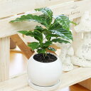 観葉植物(生花)コーヒーの木陶器鉢(鉢皿付)高さ25cm〜30cm