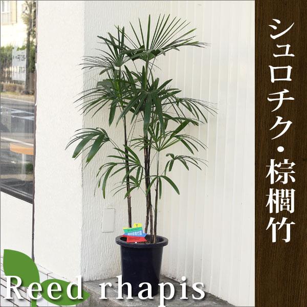 シュロチク・棕櫚竹高さ100cm〜120cm6〜7号プラ鉢観葉植物 生花