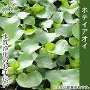 ホテイアオイM水草(水質浄化) 観葉植物