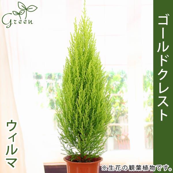 ゴールドクレスト 高さ約60-70cm4号プラ鉢庭木・観葉植物の苗木クリスマスツリー