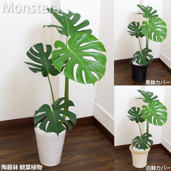 モンステラ 白陶器鉢高さ85cm〜100cm白陶器鉢+鉢カバー黒or白生花 観葉植物