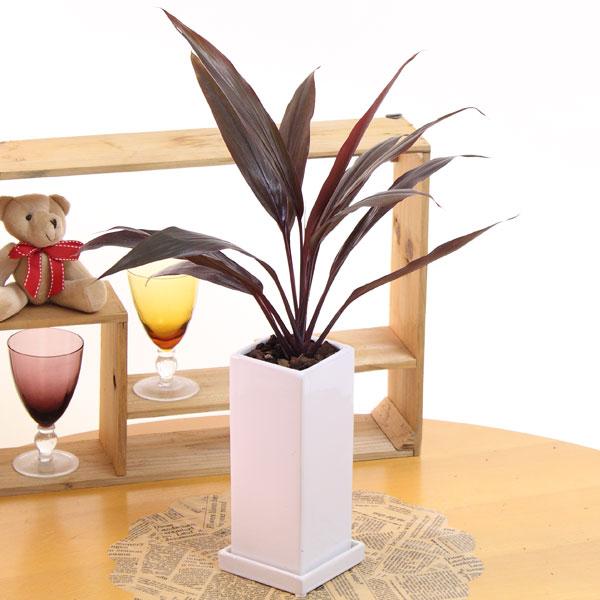 コルディリネ アイチアカ陶器鉢高さ50cm-55cm