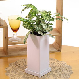 ドラセナ ゴッドセフィアナ陶器鉢高さ35cm-40cm