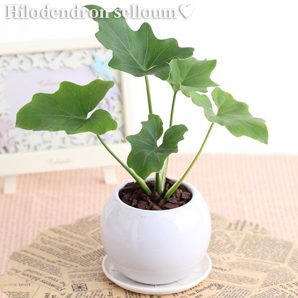 フィロデン セローム観葉植物(生花)陶器鉢(プラ鉢皿付)高さ20cm〜30cm