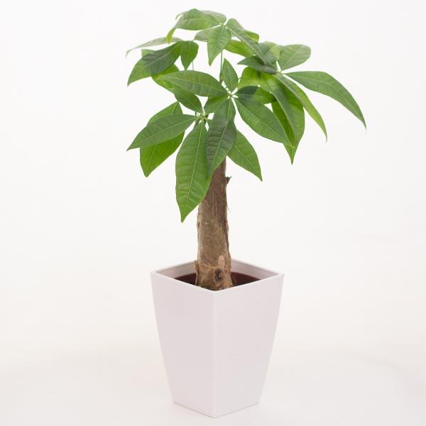 生花パキラ 4号プラ鉢
