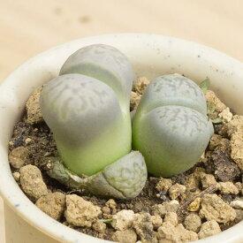 大津絵 メセンブリアンテマム属 2.5号サボテン 多肉植物