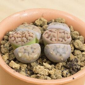 琥珀玉 メセンブリアンテマム属 2.5号サボテン 多肉植物