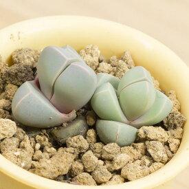 摩玉 メセンブリアンテマム属 2.5号サボテン 多肉植物