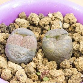 麗春玉 メセンブリアンテマム属 2.5号サボテン 多肉植物