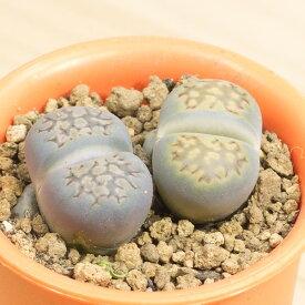 福来玉 メセンブリアンテマム属 2.5号サボテン 多肉植物