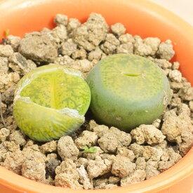 アルビニカ メセンブリアンテマム属 2.5号サボテン 多肉植物