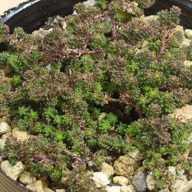 サクサグラレモスグリーン セダム属 2.5号サボテン 多肉植物