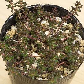 コーラルカーペット セダム属 2.5号サボテン 多肉植物