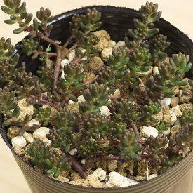 アルブム(ブラックベリー) セダム属 2.5号サボテン 多肉植物