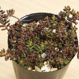 ヒレブランディ セダム属 2.5号サボテン 多肉植物
