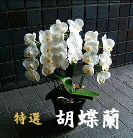 誕生日 開店祝い 胡蝶蘭 3本立ち〜5本立ち 中輪 白