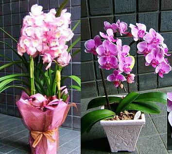 いい夫婦の日 開店祝い いい夫婦の日 開店祝い 胡蝶蘭に並んで人気のおまかせ旬の洋ラン ピンク系